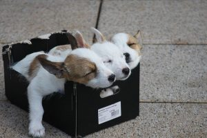 Dogs in a shoe box.
